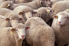 Flock_of_sheep